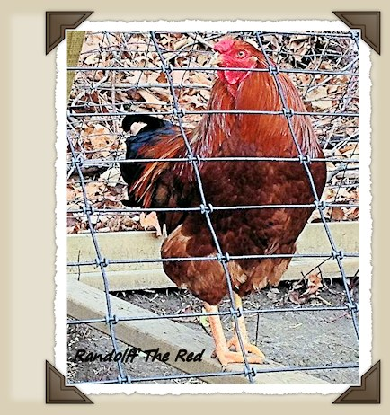 Our Rooster