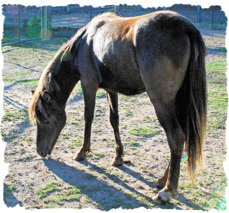 Fyre is sired by a National Champion Shetland stallion