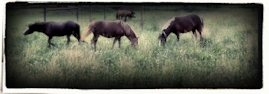 Miniature Horses grazing