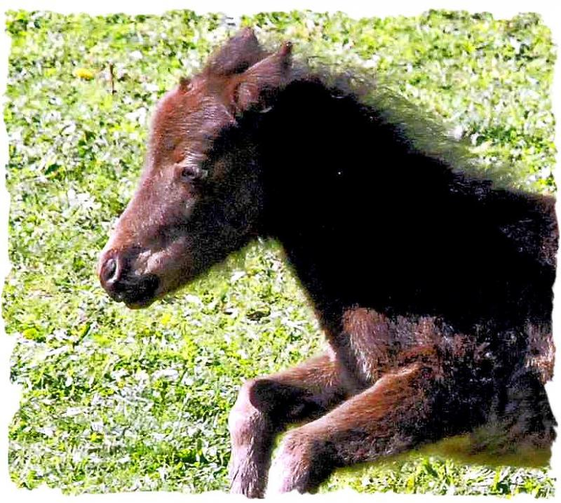 Secret is a solid black yearling Miniature Horse Shetland Blend