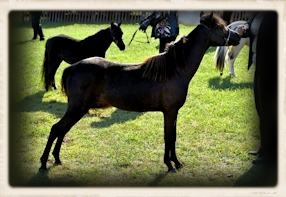 Bayfield Miniature Horse Show